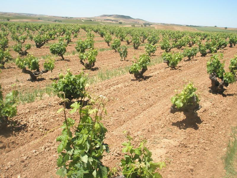 Viñas Viejas, origem das uvas que dão vida ao Pingus