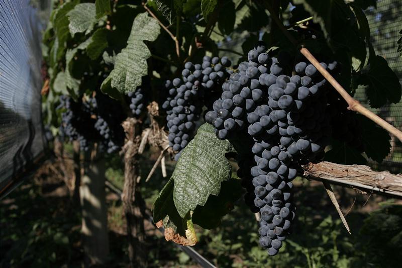 Uvas plenamente maduras são a matéria prima essencial para a produção de vinhos de alta gama