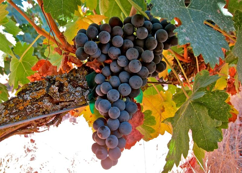 A clássica Tinta del País, nome que a Tempranillo, uva emblemática da Espanha recebe em Ribera del Duero