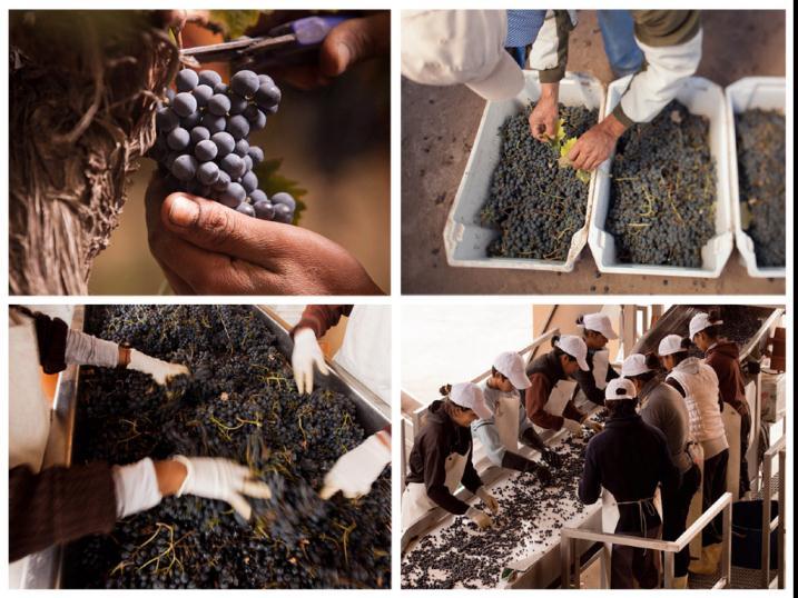 Seleção cuidadosa de cachos e grãos, um dos segredos da qualidade dos vinhos da Decero