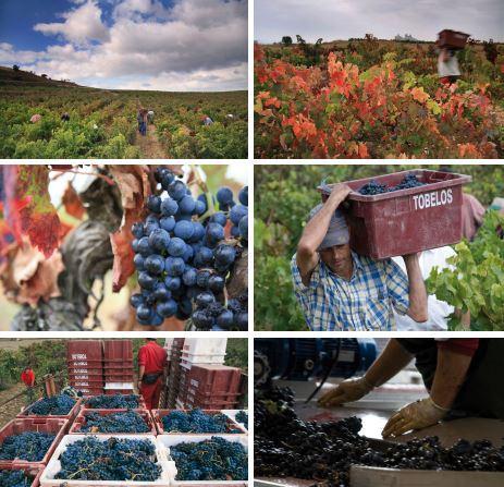 Aspectos da colheita nos vinhedos da Tobelo