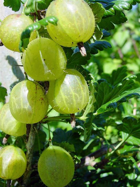 As clássicas groselhas brancas (ou gooseberry), cujos aromas são bastante encontrados em vinhos de Sauvignon Blanc