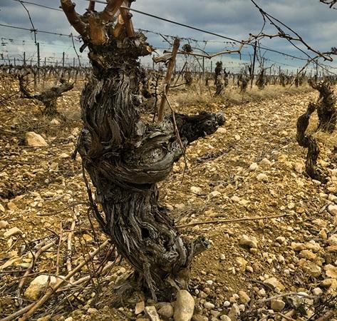 Videira antiga de tempranillo, no solo ocre da Rioja Alavesa