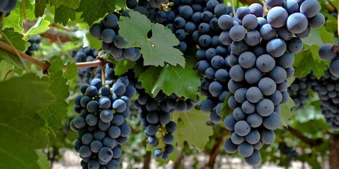 A surpreendente Bonarda, uva que agora teve sua origem desvendada